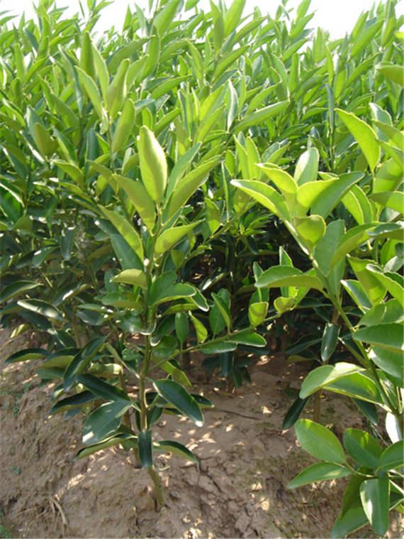 安岳柠檬苗|安岳柠檬树苗|四川柠檬树苗